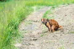 De cocker-spaniël van het hondpuppy terwijl het maken van poo Stock Foto's