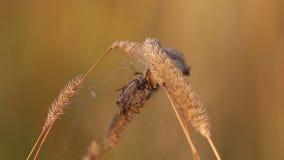 De cocon met Marsh Crane Fly /Tipula oleracea/is in het nest van Vier Vlek orb-Wever de spin van /Araneus quadratus/ stock video