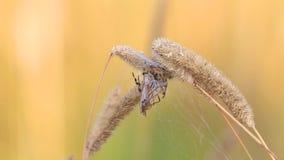 De cocon met Marsh Crane Fly /Tipula oleracea/is in het nest van Vier Vlek orb-Wever de spin van /Araneus quadratus/ stock footage