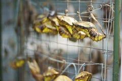 De cocon van de vlinder Stock Foto