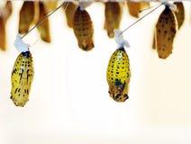 De cocons van de vlinder royalty-vrije stock afbeeldingen
