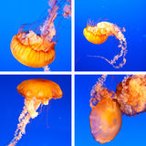 De collage van kwallen Stock Foto