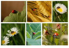 De Collage van lieveheersbeestjes Stock Foto