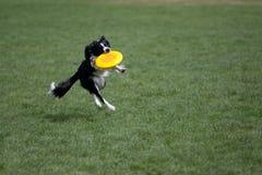 De Collie die van de grens frisbee vangt Stock Foto's