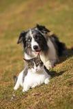 De collie van de grens achter een kat stock afbeelding