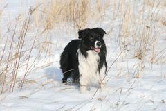 De collie van de grens in de winter stock foto's