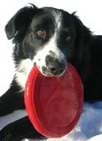 De Collie van de grens met Rode Frisbee Stock Afbeelding