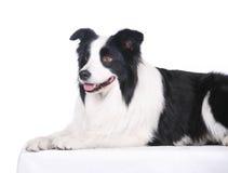 De Collie van de Grens van het huisdier van de hond royalty-vrije stock afbeelding