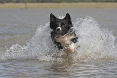 De collie van de grens in water Stock Foto