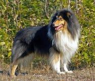 De collie van de hond Royalty-vrije Stock Afbeeldingen