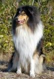 De collie van de hond Stock Afbeeldingen
