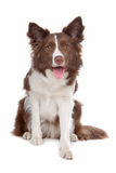 De collieherdershond van de grens Royalty-vrije Stock Afbeeldingen