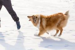 De colliehond die aan de mens op sneeuwgebied ontschorsen stock afbeeldingen