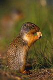 De Colombiaanse Eekhoorn van de Grond Royalty-vrije Stock Afbeelding