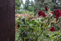 de color rojo oscuro rosed cerca de rosaleda grande fotos de archivo