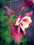 De color rosa oscuro Fotografía de archivo libre de regalías