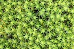 De commune van Polytrichum De achtergrond van het het groeien mos royalty-vrije stock foto
