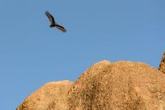 De Condor Spys van Californië een Landende Vlek stock foto's