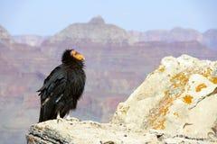 De Condor van Californië bij het Grote Nationale Park van de Canion Stock Afbeeldingen
