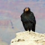 De Condor van Californië bij het Grote Nationale Park van de Canion Royalty-vrije Stock Afbeeldingen