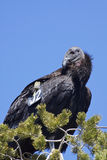 De Condor van Californië met Markering stock foto's