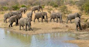 De conferentie van de stierenolifant, Balule-Reserve, Zuid-Afrika Royalty-vrije Stock Foto's