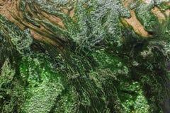 De Confervaaardworm in groene conferva, neemt nota van ondiepe diepte van gebied Royalty-vrije Stock Afbeeldingen