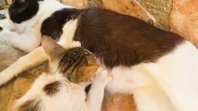De consumptiemelk van de babykat van haar moeder Sluit omhoog mening stock videobeelden