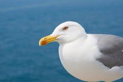 De courious zeemeeuw Stock Afbeelding