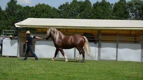 De cowboy toont zwaar paard stock video