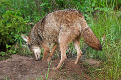 De coyote (Canis latrans) graaft in Den Site Royalty-vrije Stock Foto