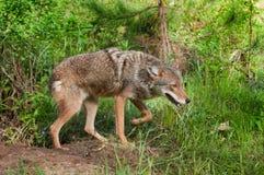 De coyote (Canis latrans) snuffelt door Hol rond Royalty-vrije Stock Afbeeldingen