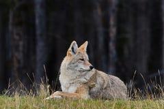 De coyote is ontspannen en waakzaam stock fotografie