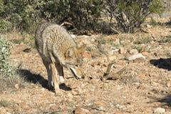 De coyote op snuffelt rond Stock Foto's