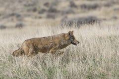 De coyote op snuffelt voor voedsel rond Stock Foto's