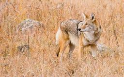 De Coyote van Colorado Stock Afbeeldingen