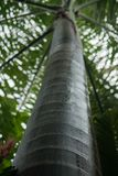 De Cubaanse Koninklijke Palm stock afbeelding