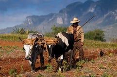 De Cubaanse landbouwer ploegt zijn gebied met twee ossen op 22 Maart in Vinales, Cuba. Stock Afbeeldingen