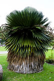 De Cubaanse Palm van de Rok Royalty-vrije Stock Afbeeldingen