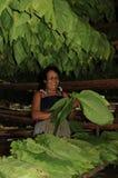 De Cubaanse vrouw van de tabaccolandbouwer in het midden van haar installaties stock fotografie