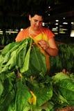 De Cubaanse vrouwen die van de tabaccolandbouwer omhoog de tabaccobladeren voor droog hangen stock foto's