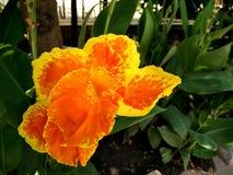De cultivar van Cannahybrida met oranjegele bloemen vlekte rood Royalty-vrije Stock Foto's