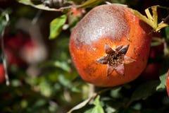 De cultuur van de granaatappel royalty-vrije stock foto