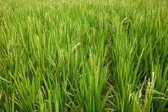 De Cultuur van de rijst Royalty-vrije Stock Afbeeldingen