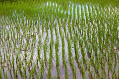 De Cultuur van de rijst Stock Afbeeldingen