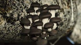 De Cultuur van Paddestoelen bewerkt thuis De oester schiet 9 als paddestoelen uit de grond stock videobeelden