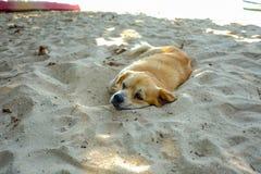 De Cutiehond kijkt het boring en geeuw op het strand royalty-vrije stock fotografie