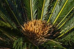 Is de Cycad wetenschappelijke naam Cycas-circinalis L Families Cycadaceae Cycas dichte omhooggaand met lyzard op het hart van de  stock foto