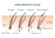 De cyclus van de haargroei stock illustratie