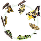 De cyclus van het leven van de vlinder Swallowtail Royalty-vrije Stock Foto